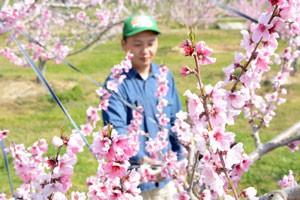 001桃の花