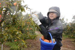 1021柿オーナー園が開園
