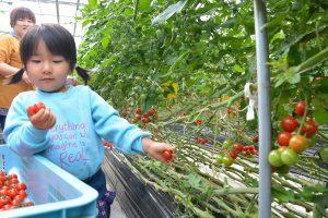 0408ミニトマト収穫体験(2)