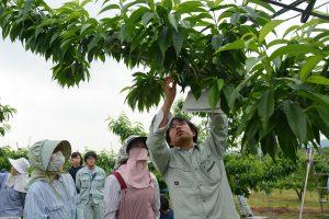 0518桃の摘果講習会(1)