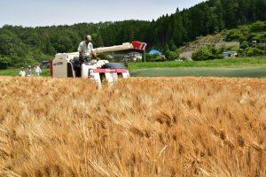 0526小原大麦収穫(1)